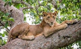 Leoa que encontra-se em uma árvore grande Close-up uganda East Africa Foto de Stock