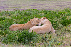 Leoa que relaxa no Serengeti imagens de stock royalty free