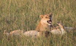 A leoa rosnando Fotos de Stock Royalty Free