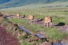 A leoa três com filhotes, vai ao longo da estrada em selvagem. Foto de Stock