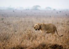 A leoa vai caçar imagens de stock