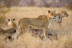 Leoas de Kruger Fotografia de Stock