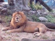 leon Φε santa ζωολογικών κήπων Στοκ εικόνες με δικαίωμα ελεύθερης χρήσης