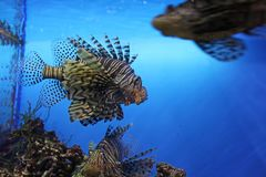 Leon-Fische im Aquarium, Russland stockfotografie