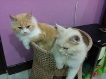 Leon katten Arkivbild