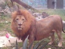 leon posandome ζωολογικός κήπος Στοκ φωτογραφίες με δικαίωμα ελεύθερης χρήσης