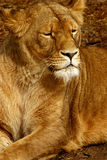 Leona Imagen de archivo