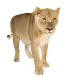 Leona (8 años) - Panthera leo Imagenes de archivo