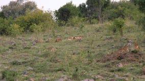 Leona africana con Cubs que descansa sobre la hierba cerca de los arbustos en la sabana almacen de metraje de vídeo