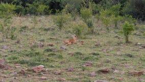 Leona africana con Cubs que descansa sobre la hierba cerca de los arbustos en la sabana almacen de video