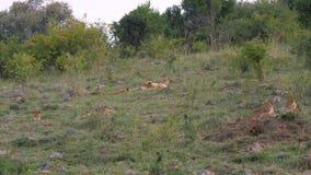Leona africana con Cubs que descansa sobre la hierba cerca de los arbustos en la sabana metrajes