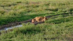 Leona africana con el agua potable de la cara sangrienta de charcos en salvaje en pasto almacen de video
