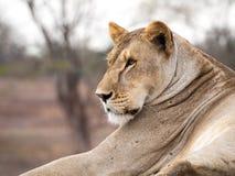 Leona africana rescatada en un centro del rescate de la fauna Foto de archivo libre de regalías
