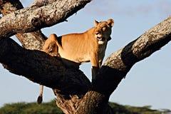 Leona agarrada que sube en árbol muerto fotografía de archivo libre de regalías