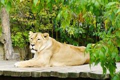 Leona, animales amistosos en el parque zoológico de Praga Foto de archivo libre de regalías