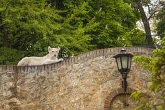 Leona blanca que descansa sobre la pared en el parque zoológico Foto de archivo libre de regalías