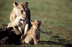 Leona con el cachorro, orgullo del pantano, Masai Mara Imagenes de archivo
