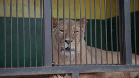 Leona con un león en una jaula Una leona le mira, un león da vuelta lejos a mentira en una jaula en un parque zoológico Mediodía  almacen de video