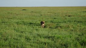 Leona con una cara en paseos de la sangre en un llano del pasto en la sabana africana metrajes