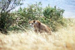 Leona de la caza Foto de archivo libre de regalías