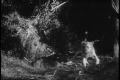 Leona de la posibilidad muy remota y sus cachorros que descansan en selva almacen de video
