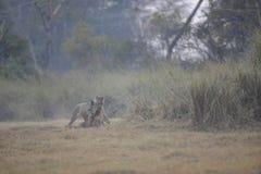 Leona del león con matanza Fotografía de archivo