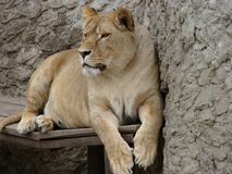 Leona embarazada en el parque zoológico Fotos de archivo