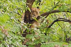 Leona en árbol Imagen de archivo
