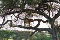 Leona en el árbol grande Tanzania, África Imagenes de archivo