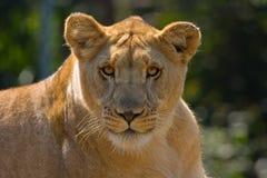 Leona en el campo en África. Imagenes de archivo
