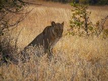 Leona en el parque nacional de Savuti en Botswana, África Fotografía de archivo libre de regalías