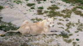 Leona en el parque zoológico metrajes