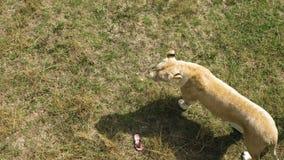 Leona en el parque zoológico almacen de metraje de vídeo