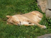 Leona en el parque zoológico Fotografía de archivo libre de regalías