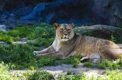 Leona en el parque zoológico de Olomouc Imagen de archivo libre de regalías