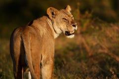Leona en el Serengeti Imagenes de archivo