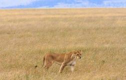 Leona en la sabana del Masai Mara Fotografía de archivo