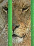 Leona en pequeña jaula Prisonner Abuso animal foto de archivo