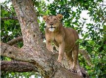 Leona en un árbol grande Primer uganda La África del Este Fotos de archivo