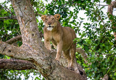 Leona en un árbol grande Primer uganda La África del Este Fotos de archivo libres de regalías