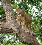 Leona en un árbol grande Primer uganda La África del Este Fotografía de archivo