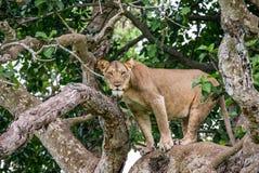 Leona en un árbol grande Primer uganda La África del Este Foto de archivo libre de regalías