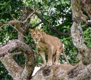 Leona en un árbol grande Primer uganda La África del Este Foto de archivo