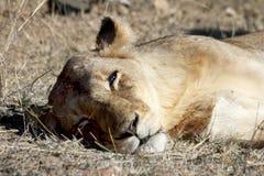 Leona femenina que descansa después de acoplar Fotografía de archivo libre de regalías
