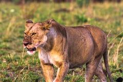 Leona grande en la sabana Masai Mara Imagen de archivo libre de regalías