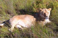 Leona hermosa que descansa debajo de los cielos africanos foto de archivo