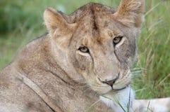Leona joven en la Mara, Kenia. Fotografía de archivo