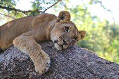 Leona joven, Zimbabwe, parque nacional de Hwange Imagenes de archivo