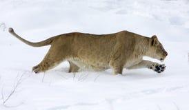 Leona/Panthera leo foto de archivo