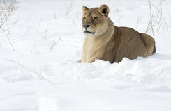 Leona/Panthera leo imagenes de archivo